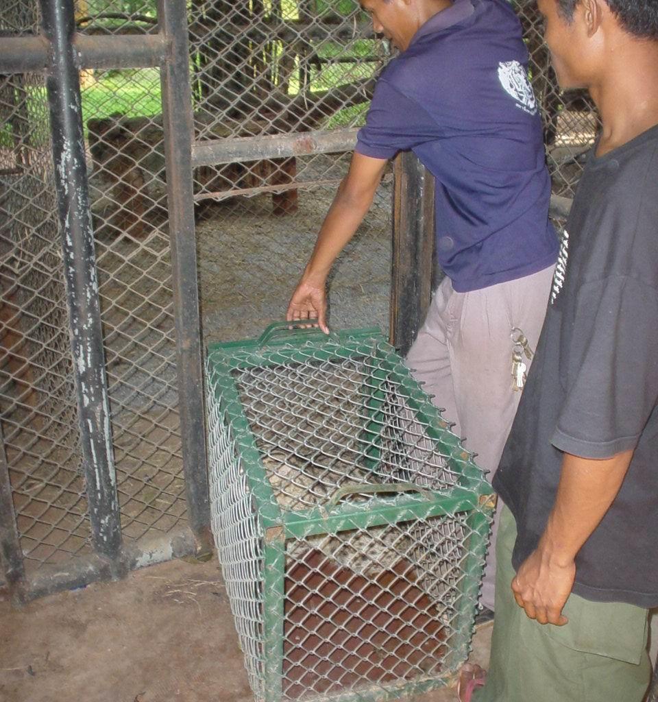 """เจ้าหน้าที่ของมูลนิธิเพื่อนสัตว์ป่า """"หนุ่ม"""" ปล่อยเสือปลาเข้าสู่ที่อยู่อาศัยใหม่ของกรมอุทยานฯ"""