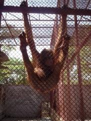 ลิงอุรังอุตัง 1ตัว ที่อยู่ในสวนสัตว์แห่งหนึ่งในภูเก็ต
