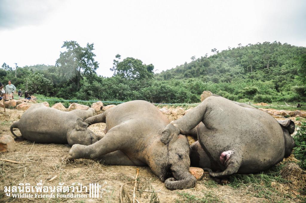 ช้างป่าทั้งสามตัว นอนหมดลมหายใจ ที่อุทยานแห่งชาติแก่งกระจาน