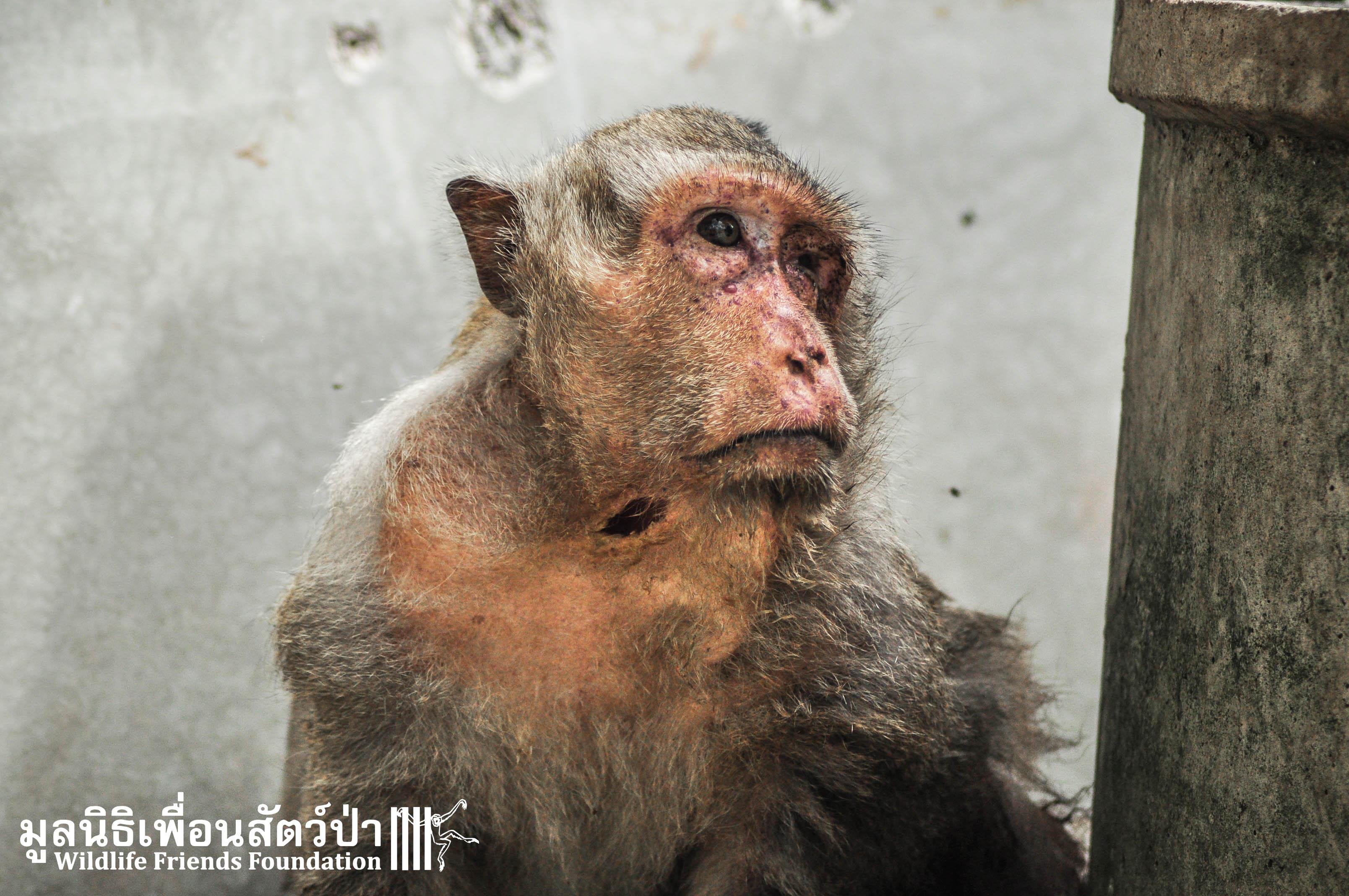 Macaque Rescue KaoWang 220915 3 614
