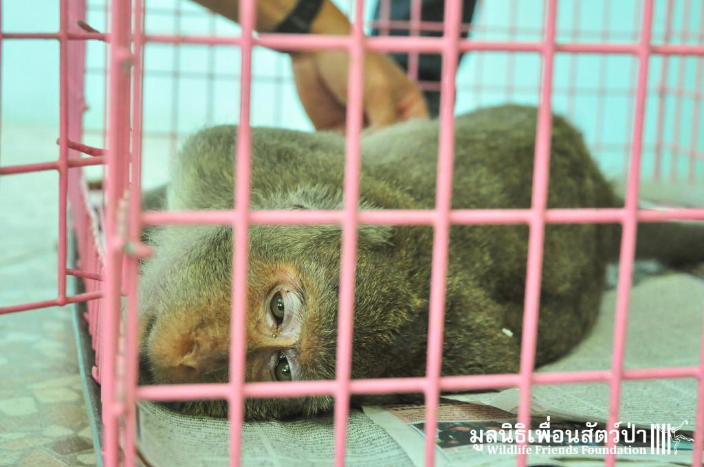Macaque rescue KaoWang_Tetanus 161015 804