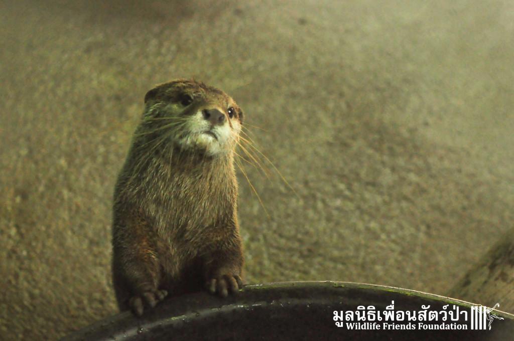 Otter rescue_Otto 191015 104