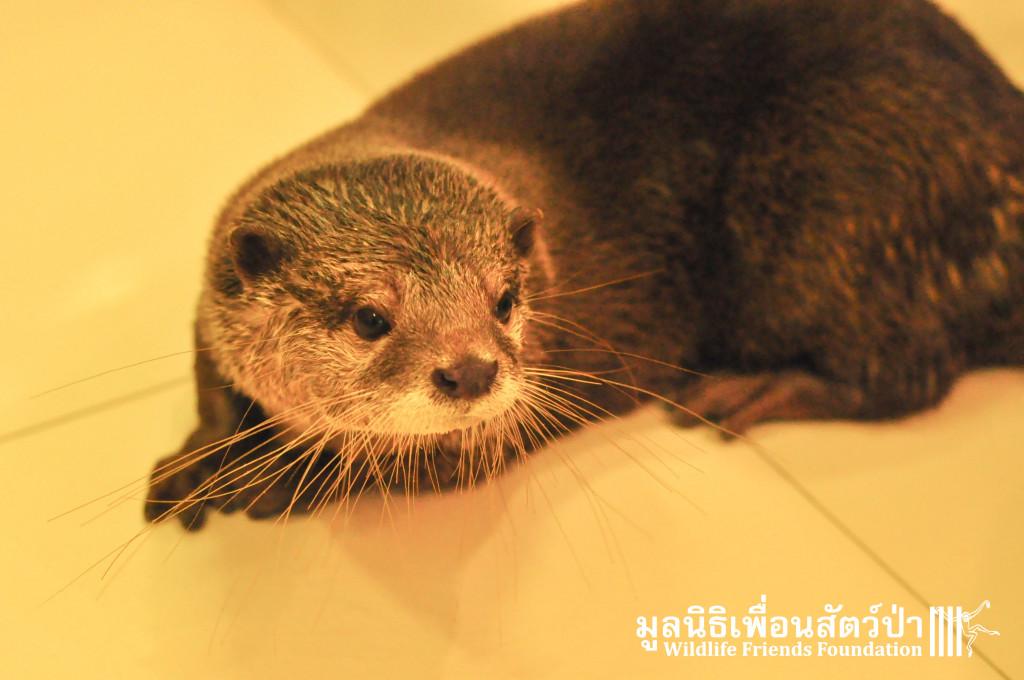 Otter rescue_Otto 191015 12