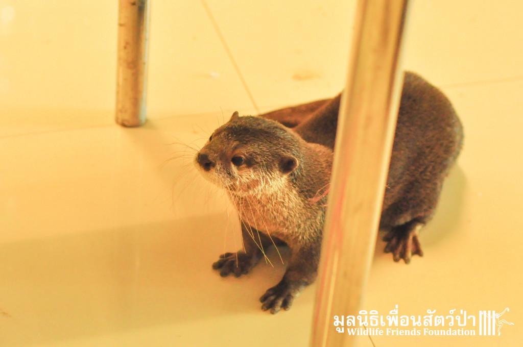Otter rescue_Otto 191015 24