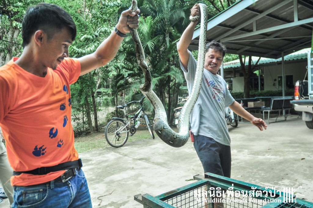 Pathon Snake rescue 111015 520