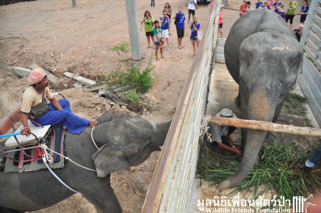 Elephant rescue ChokDee 241115 1241