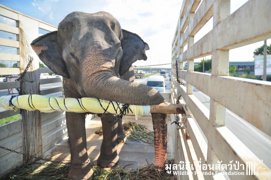 Elephant rescue ChokDee 241115 1322