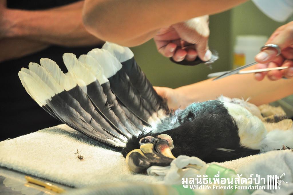 Hornbill rescue Rip 261115 38