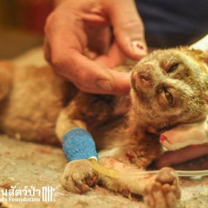 Loris Rescue 281115 299