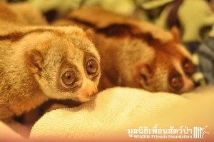 Loris rescue Lilka&Lisek 111115 398