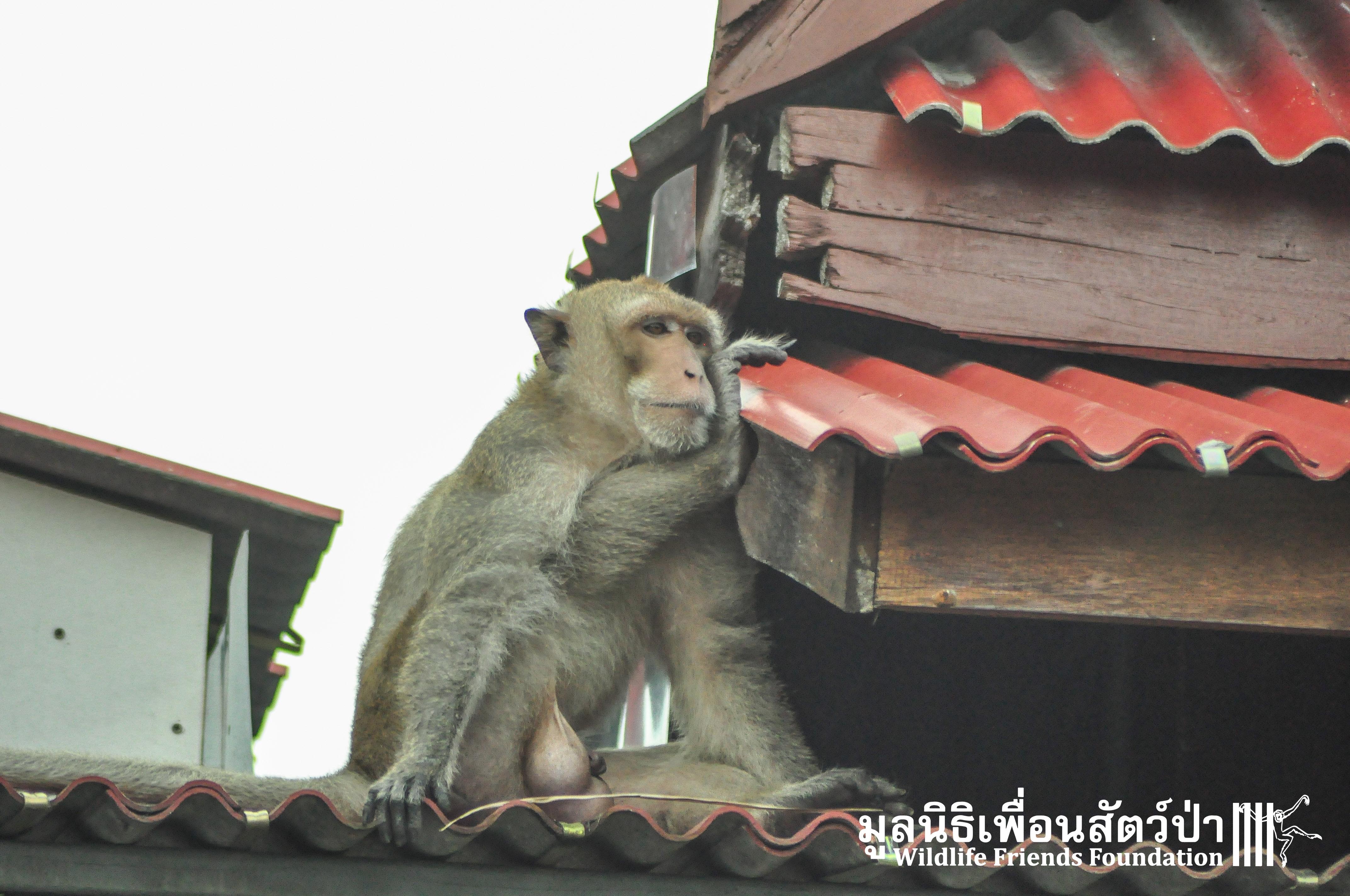 Macaque Rescue WatHuaiMeaPring 191015 209