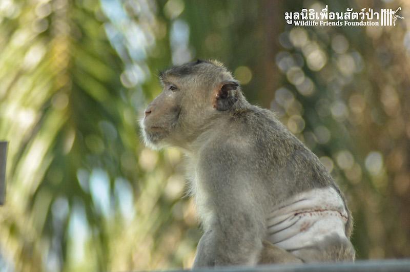 Macaque Release KaoWang Hacked 081215 18