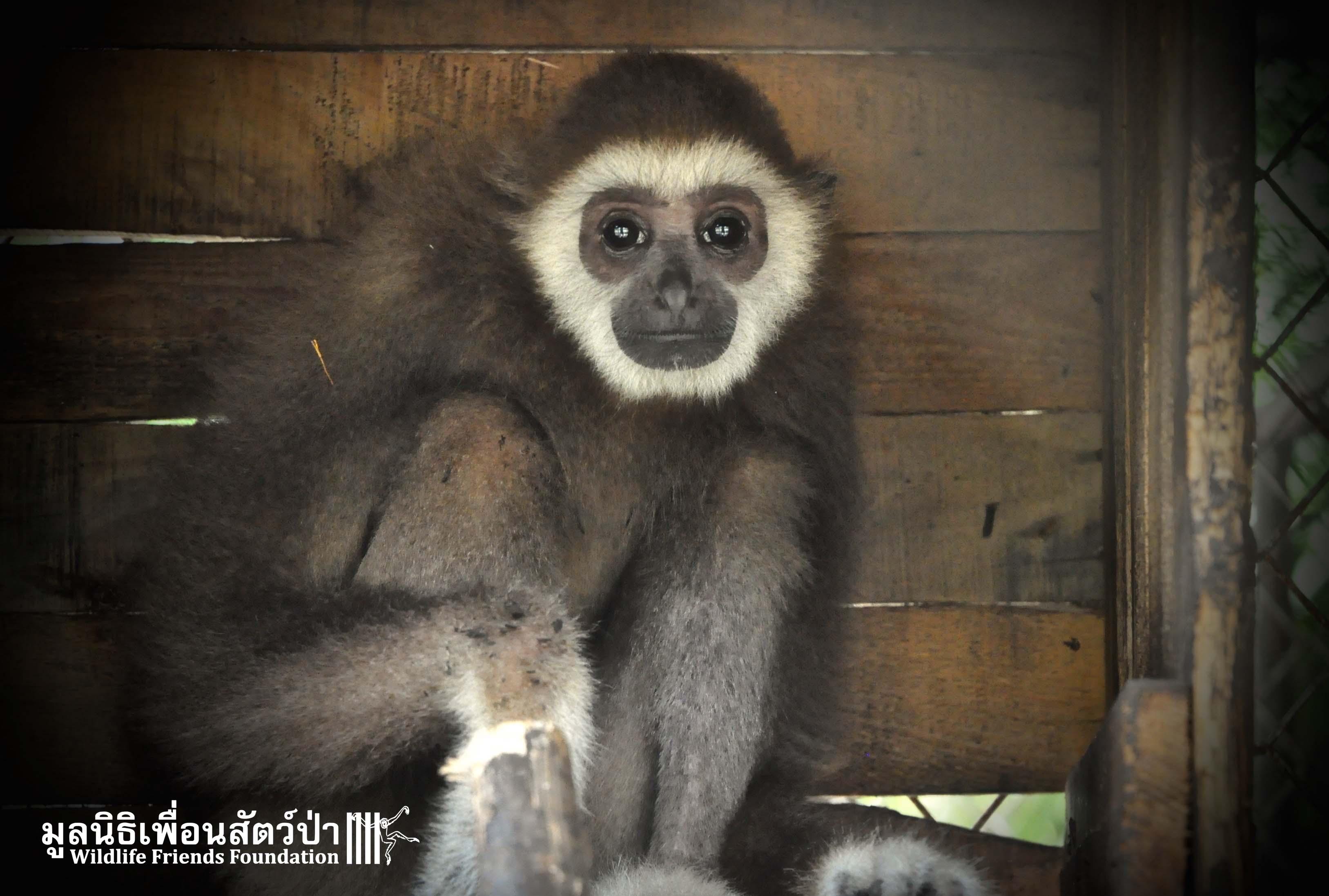 Gibbon Rescue AungAing 22:1:16 Sm 873