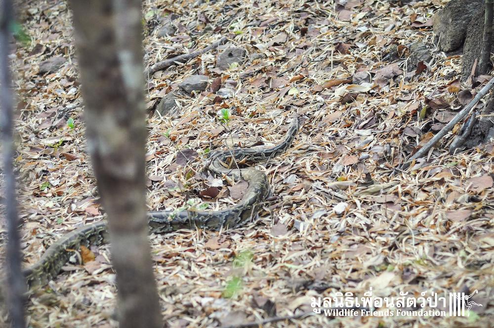 Release Burmese python 280116 17