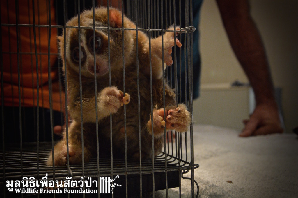 3x Loris and Civet Rescue 25:1:16 2166