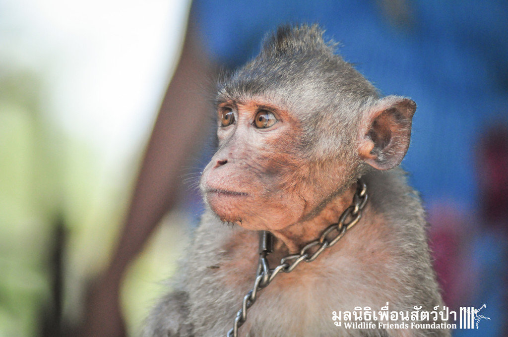 Macaque rescue Jack 080316 3964