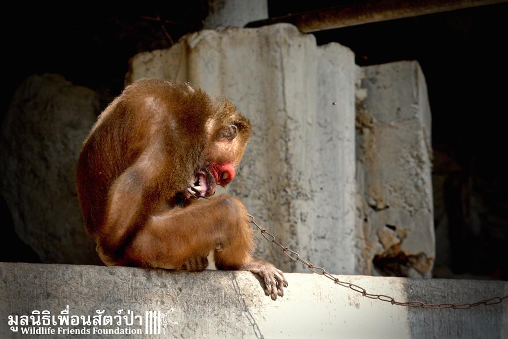 Macaque rescue KhaiLiam 080316 4965