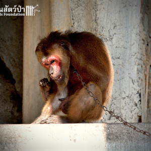 Macaque Rescue KhaiLiam 080316 4982