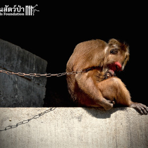 Macaque Rescue KhaiLiam 080316 5045