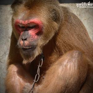 Macaque Rescue KhaiLiam 080316 5062