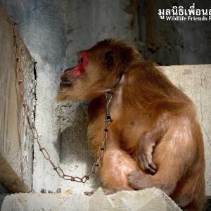 Macaque Rescue KhaiLiam 080316 5065