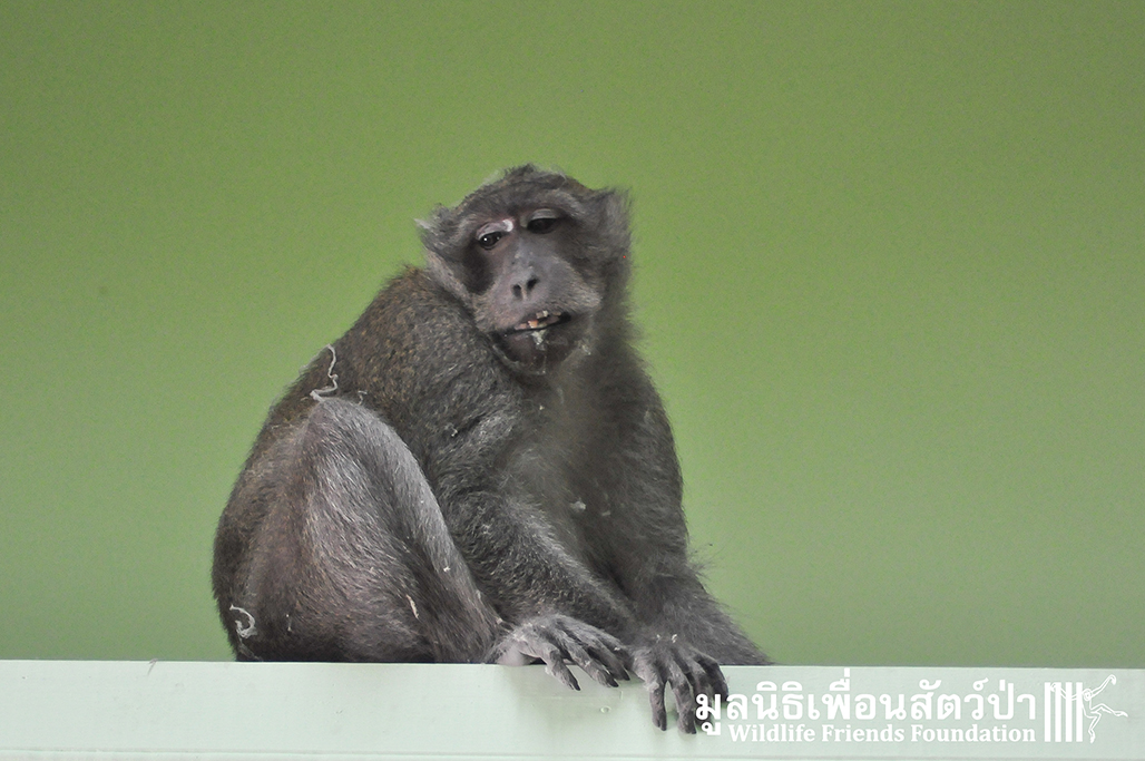 ลิงแสมกินขนมจนฟันผุทั้งปาก