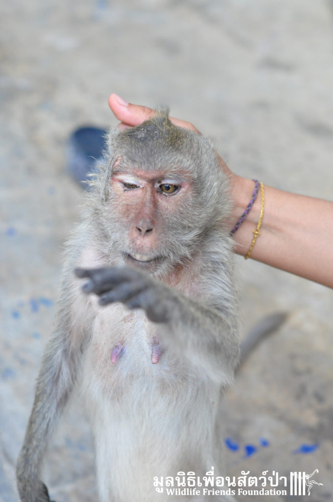 Macaque rescue Bullet in head 200416 01 sm