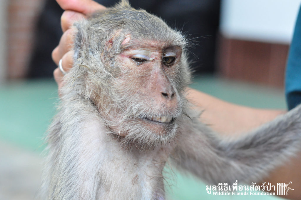 Macaque rescue Bullet in head 200416 02 sm
