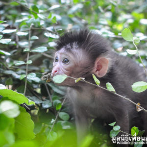Macaque Rescue MaKut Baby Monkey 200416  03 Sm