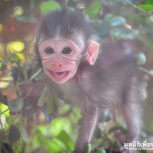 Macaque Rescue MaKut Baby Monkey 200416  08 Sm