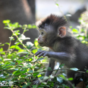 Macaque Rescue MaKut Baby Monkey 200416  09 Sm