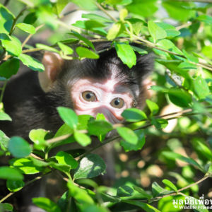 Macaque Rescue MaKut Baby Monkey 200416  13 Sm