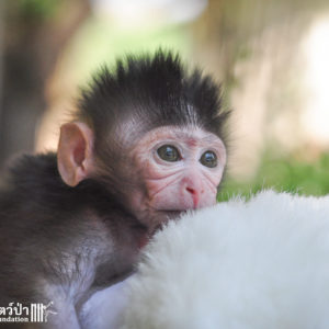 Macaque Rescue MaKut Baby Monkey 200416  15 Sm