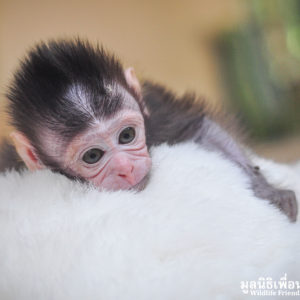 Macaque Rescue MaKut Baby Monkey 200416  17 Sm