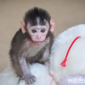 Macaque Rescue MaKut Baby Monkey 200416  19 Sm