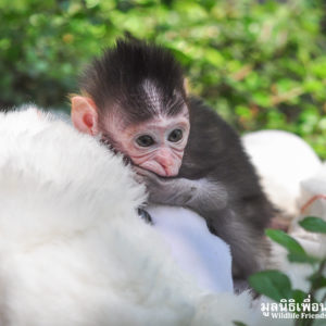 Macaque Rescue MaKut Baby Monkey 200416  20 Sm