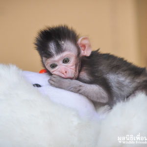 Macaque Rescue MaKut Baby Monkey 200416  24 Sm