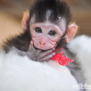 ลิงน้อยมะกรูดกำพร้าแม่