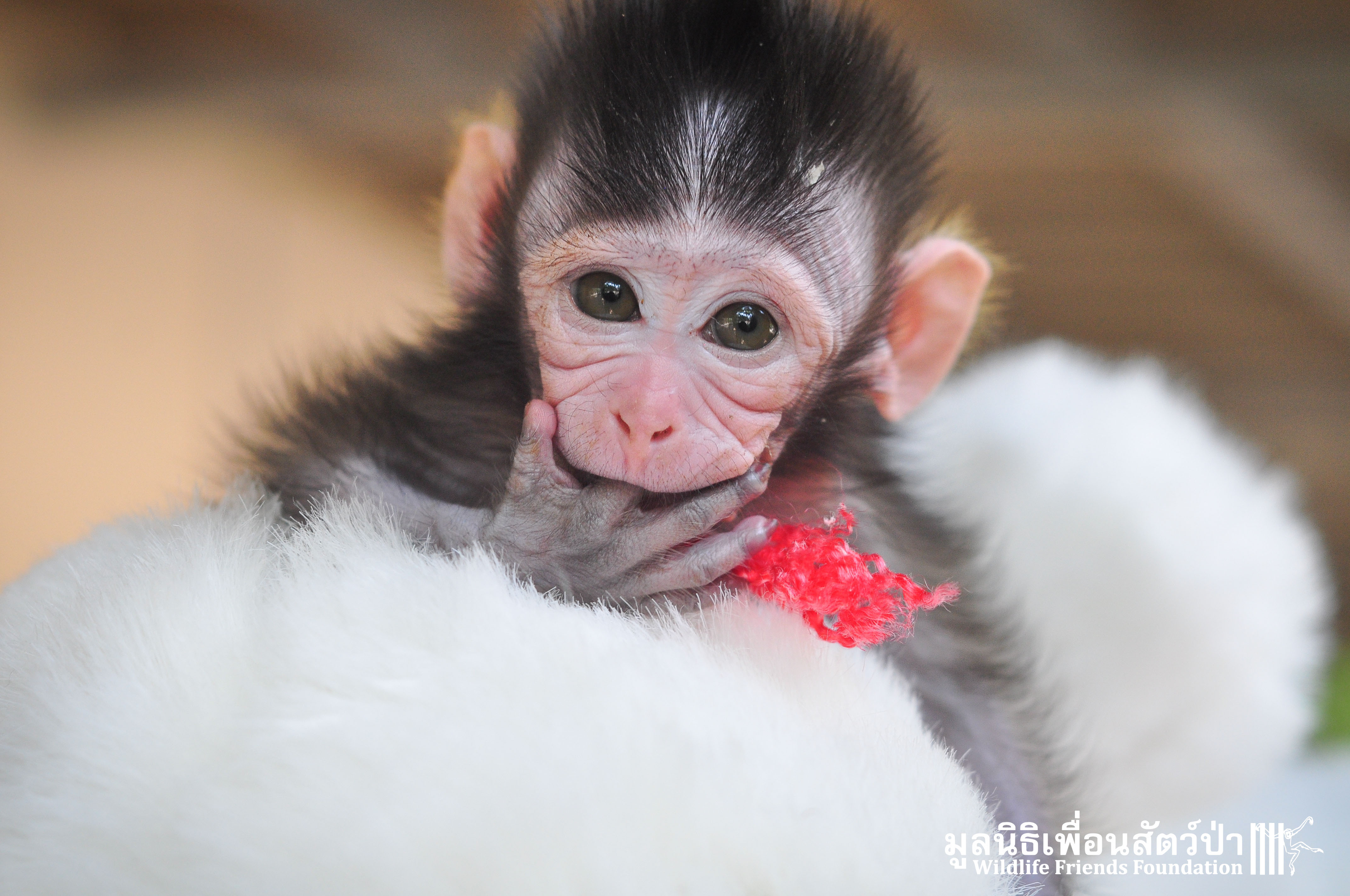 Macaque Rescue MaKut Baby Monkey 200416  28 Sm