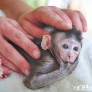 Macaque Rescue MaKut Baby Monkey 200416  35 Sm