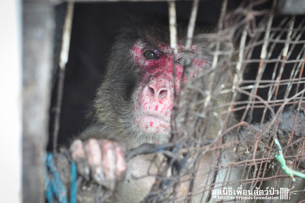 Macaque rescue Joe 290316 04