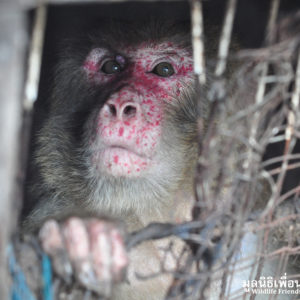 Macaque Rescue Joe 290316 05