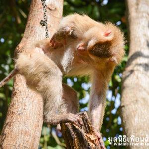 Macaque Rescue Lamai Samui 020416 01 B