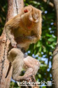 Macaque rescue Lamai samui 020416 02 B