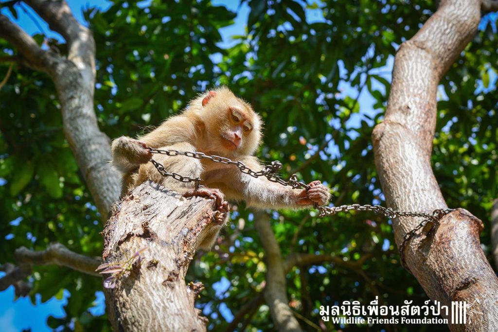 Macaque rescue Lamai samui 020416 04 B