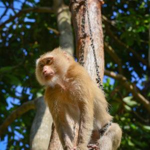 Macaque Rescue Lamai Samui 020416 05 B
