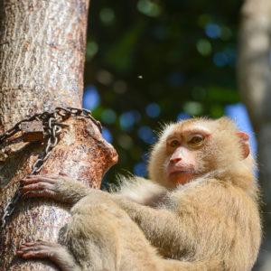 Macaque Rescue Lamai Samui 020416 06 B