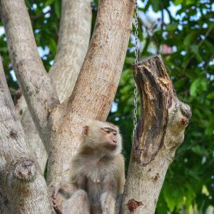 Macaque Rescue Lamai Samui 020416 07 B