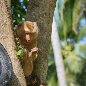Macaque Rescue Lamai Samui 020416 08 B