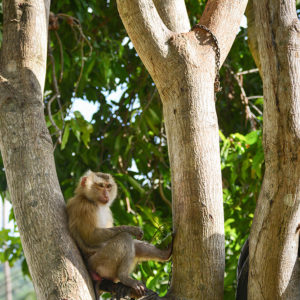 Macaque Rescue Lamai Samui 020416 09 B